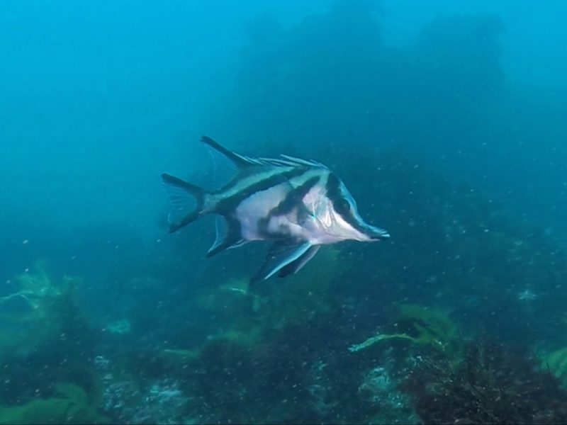 Boarfish, Diving in Victoria, Port Phillip Bay, Learn to dive