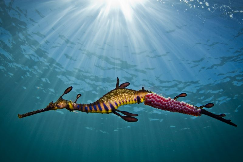 Snorkel with Seadragons