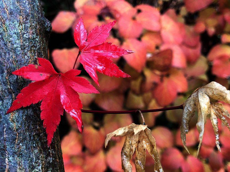 Acer palmatum and Viburnum carlesii