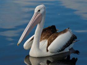 Pelican at Bemm River