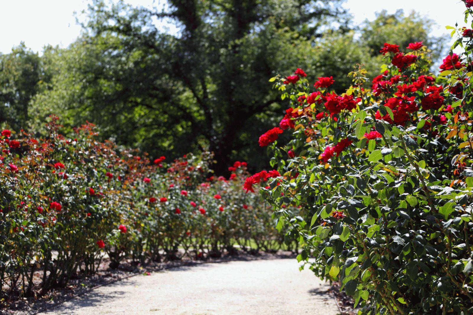Benalla roses
