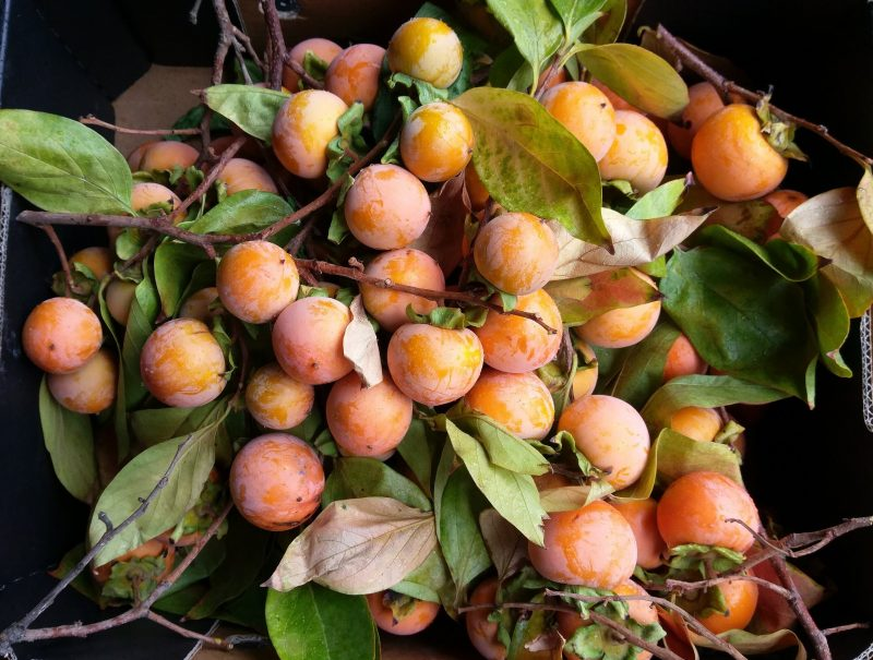 Staseys persimmons