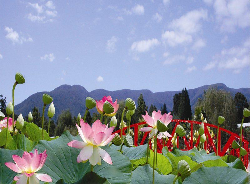 Blue Lotus Water Garden, Peter Cochrane