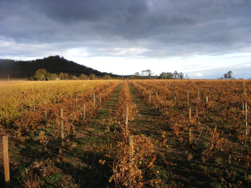 Taminick vineyards in autumn