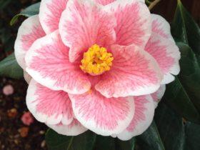 Camellia, Garden & Floral Art Show