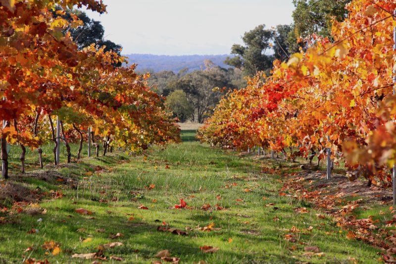 Small vineyard near Candlebark