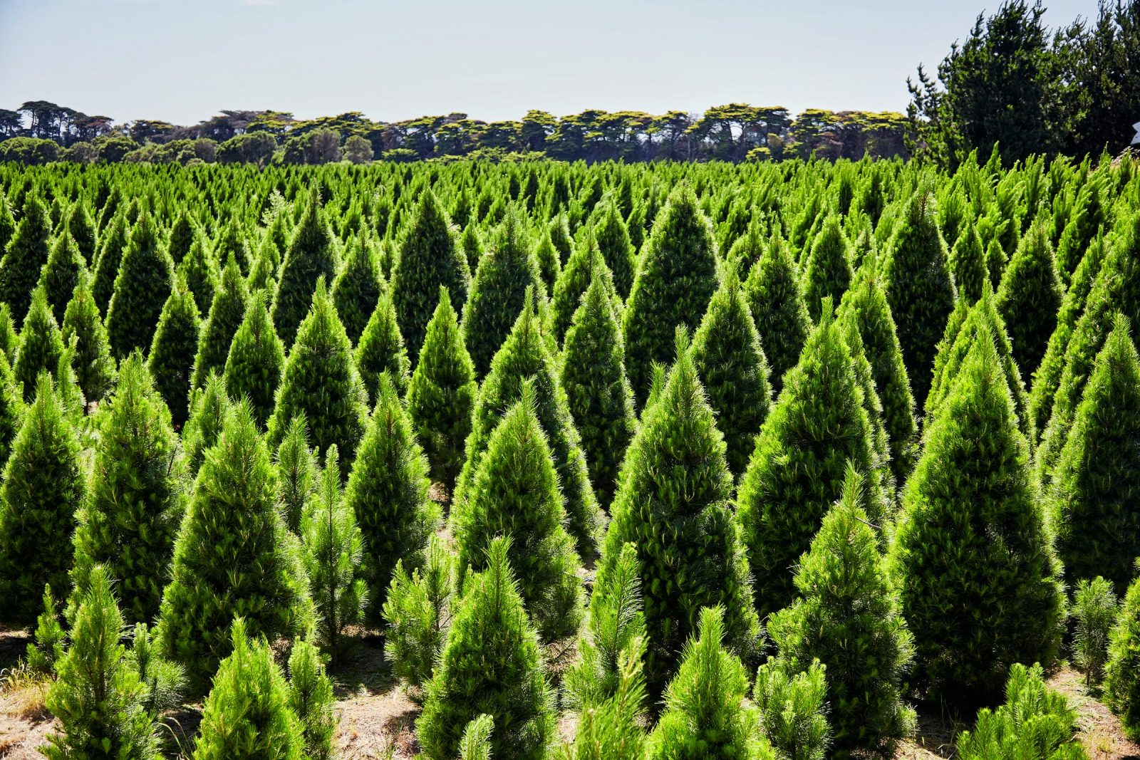 Christmas Trees all around