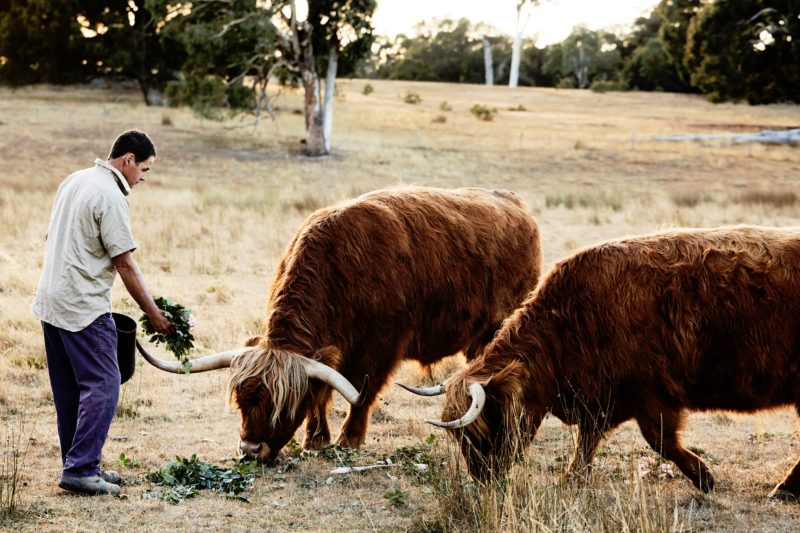 Ashley feeding Rose cuttings to the Highland Cattle as part of the closed loop farming.
