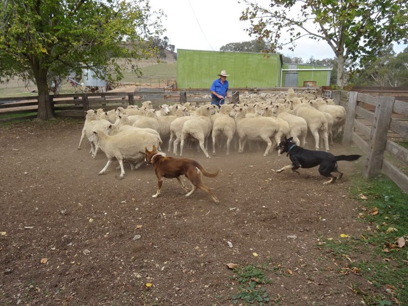 Sheep dogs doing what they love best
