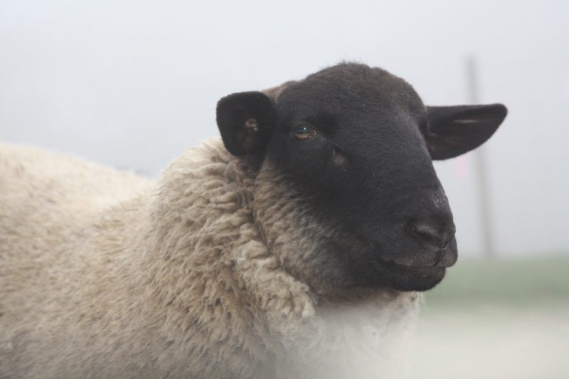 Choose from many sheep farms in Victoria