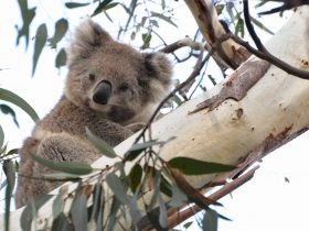 Wild Koala 'Smoky' is part of the wild koala research project