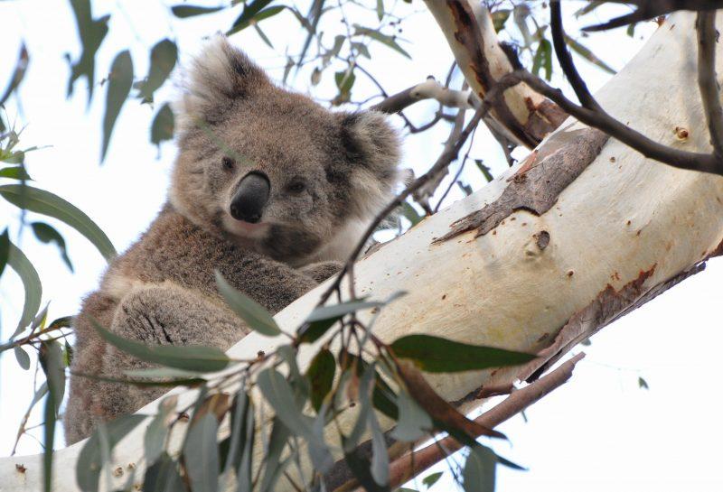 Wild Koala 'Smoky' is part of the wild koala research project