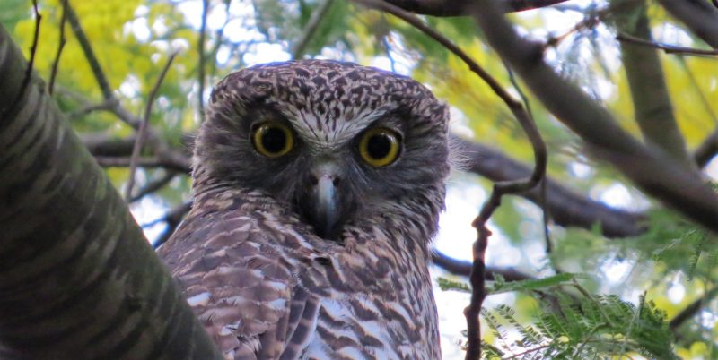 Firetail Birdwatching Tours - Powerful Owl