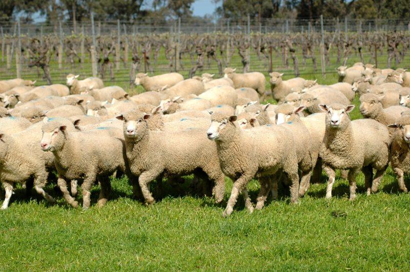 Lake Moodemere Sheep