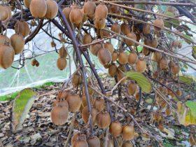 Kiwi Fruit Galore