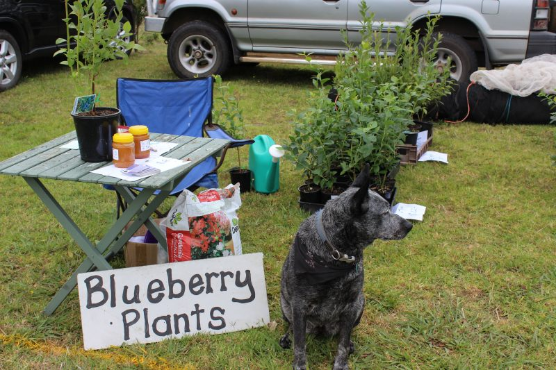 On guard minding the blueberry plants