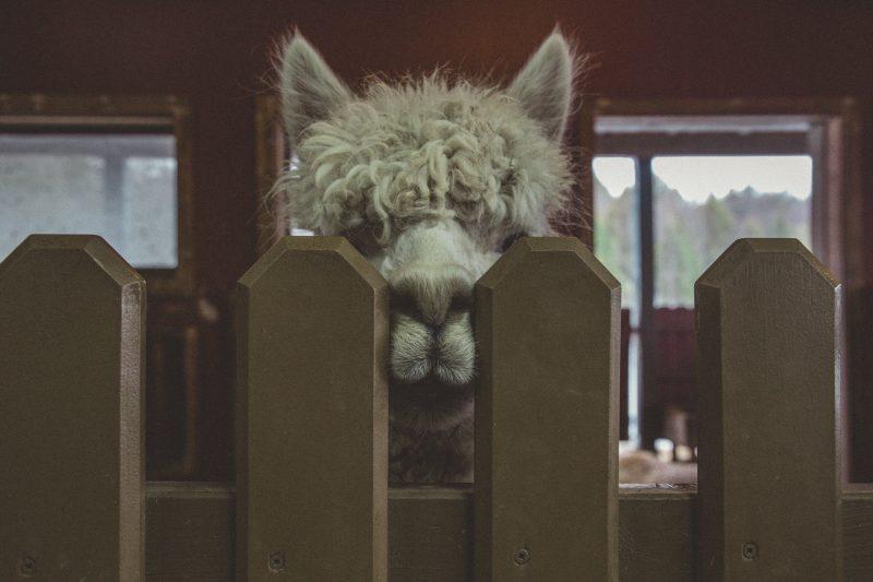Alpaca at Creswick Woollen Mills
