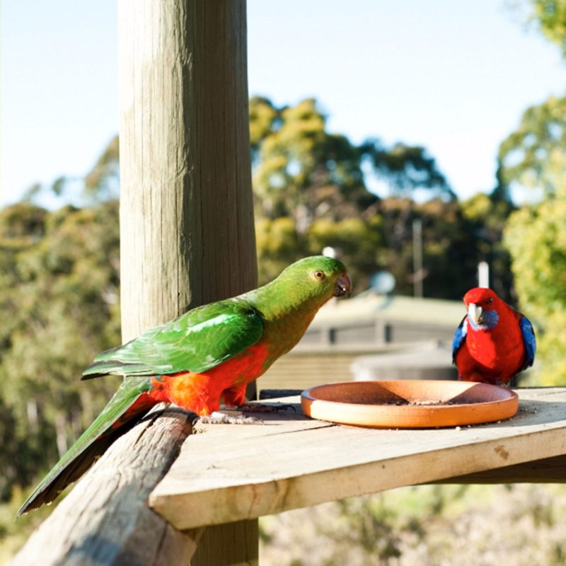 King Parrot and Easter Crimson Rosella