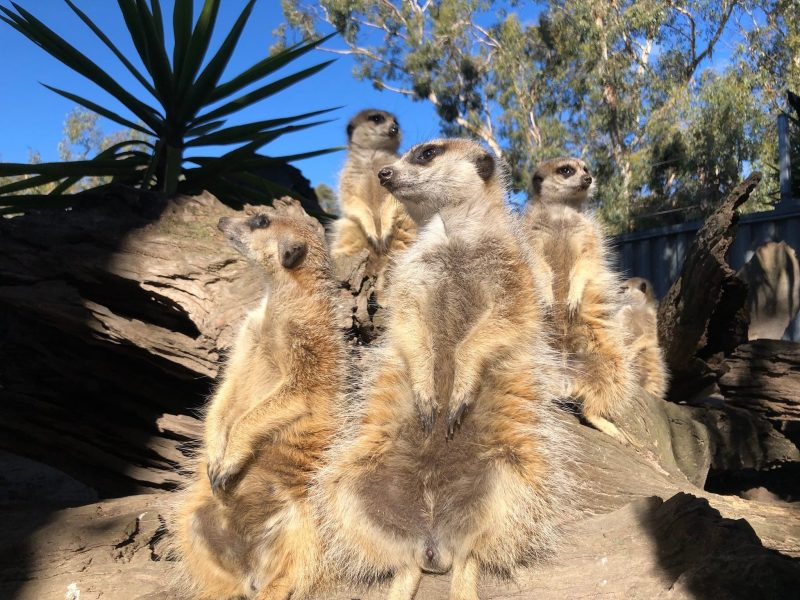 It is all about our Meerkats