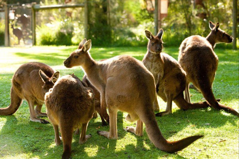 Healesville Sanctuary Kangaroos