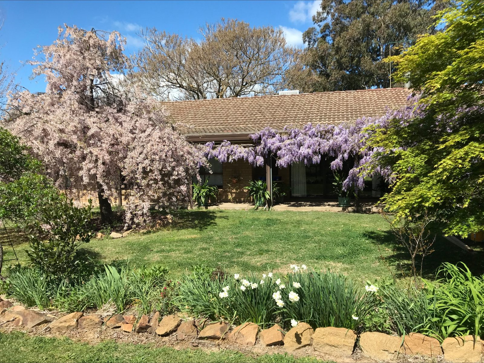 Wisteria and Weeping cherry tree out the front of Holly House