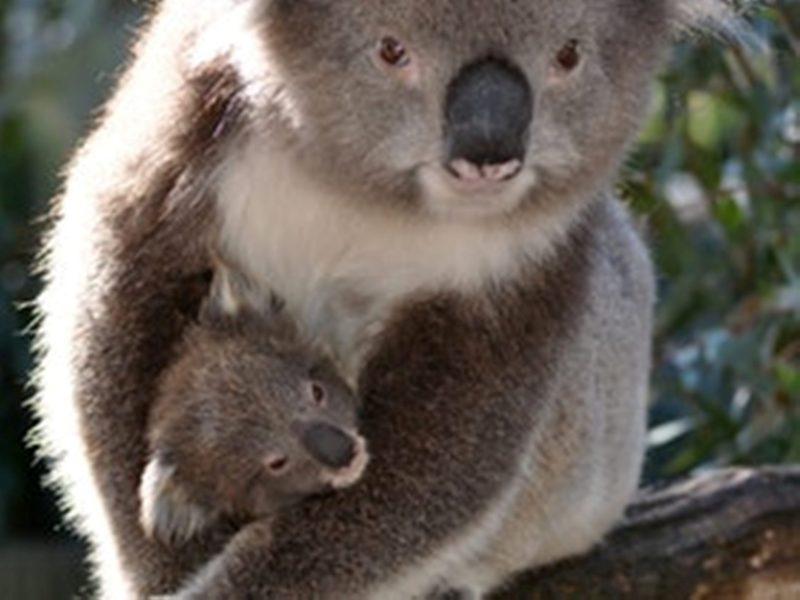 Jirrahlinga - Koala & Wildlife Sanctuary - Koala