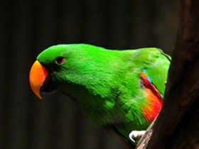 Jirrahlinga - Koala & Wildlife Sanctuary - Green Parrot