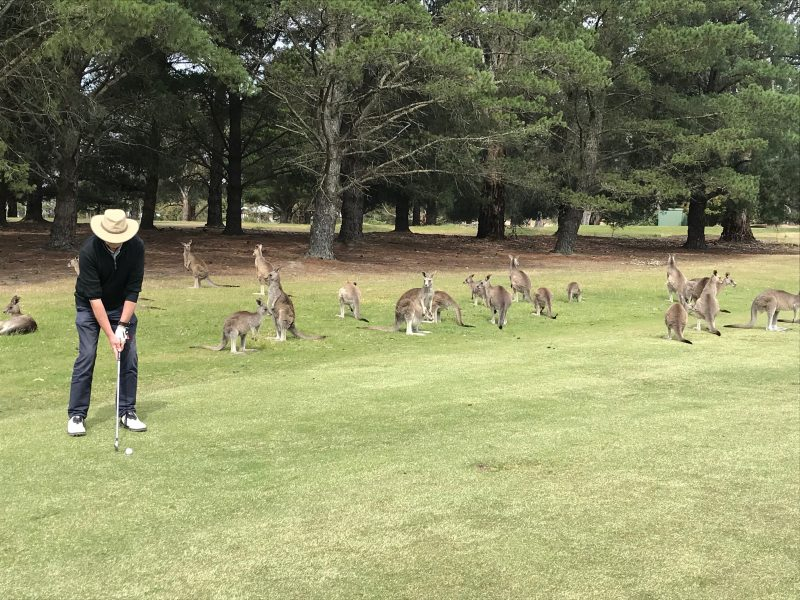 A family of kangaroos watching a golfer play his shot