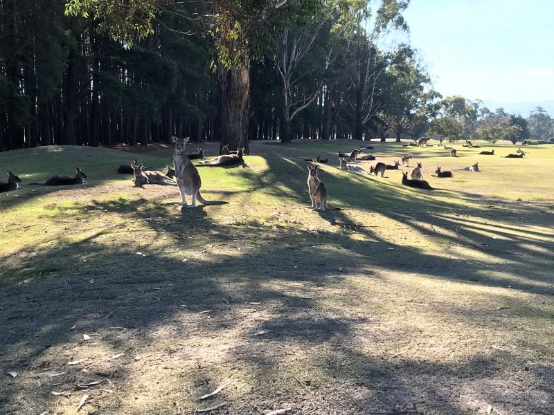 Kangaroos lazing in the afternoon sun with Kanga Tours