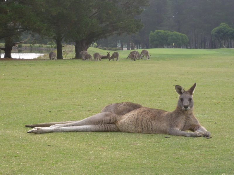 Kanga Tours large male kangaroo resting
