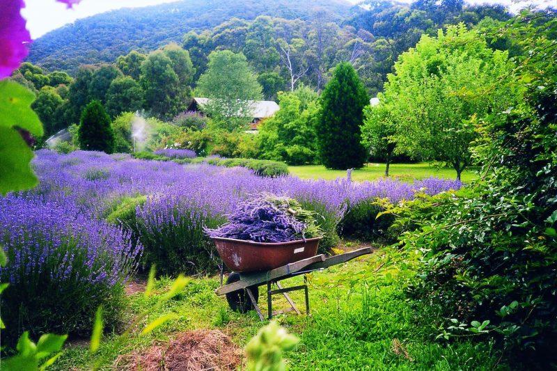 Lavender Hue