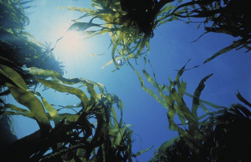 Generic Parks Victoria - Kelp