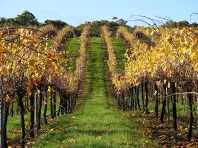 Miners Ridge Vineyard in Autumn