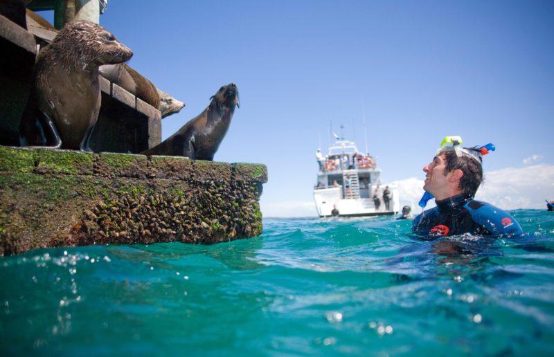 Swim with Australian Fur Seals
