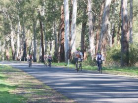 seven cyclists on flat road with tall eucalypts behind