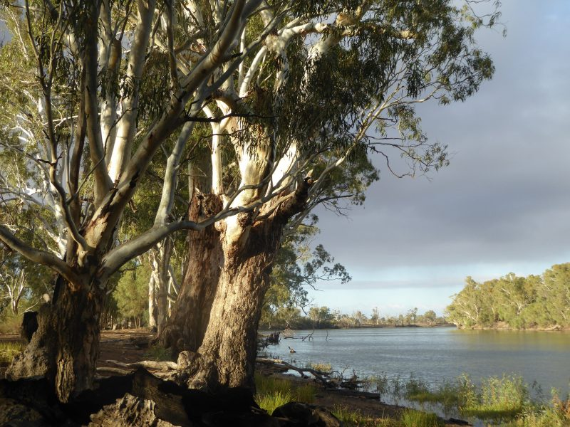 Majestic red gums on the Murray river