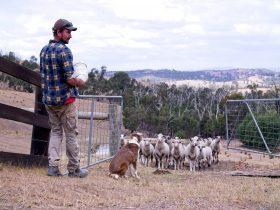 Farmer looking after sheep