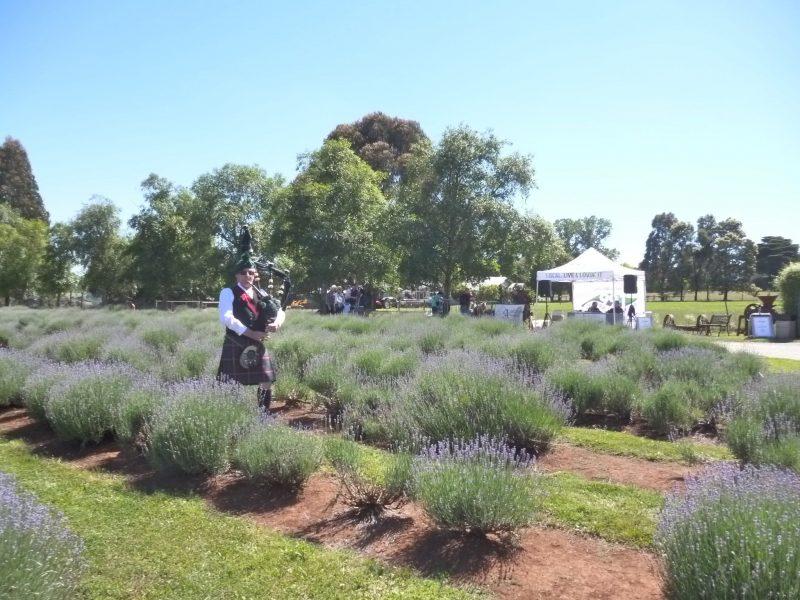Piper in the lavender