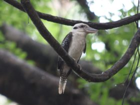 Kookaburras can be seen across most of Australia