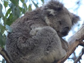 Koalas are on most bucket lists when visiting Australia