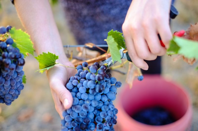 Picking Sangiovese at Red Feet Wines