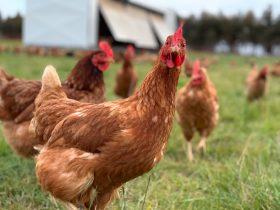 Rocklea Farm hens
