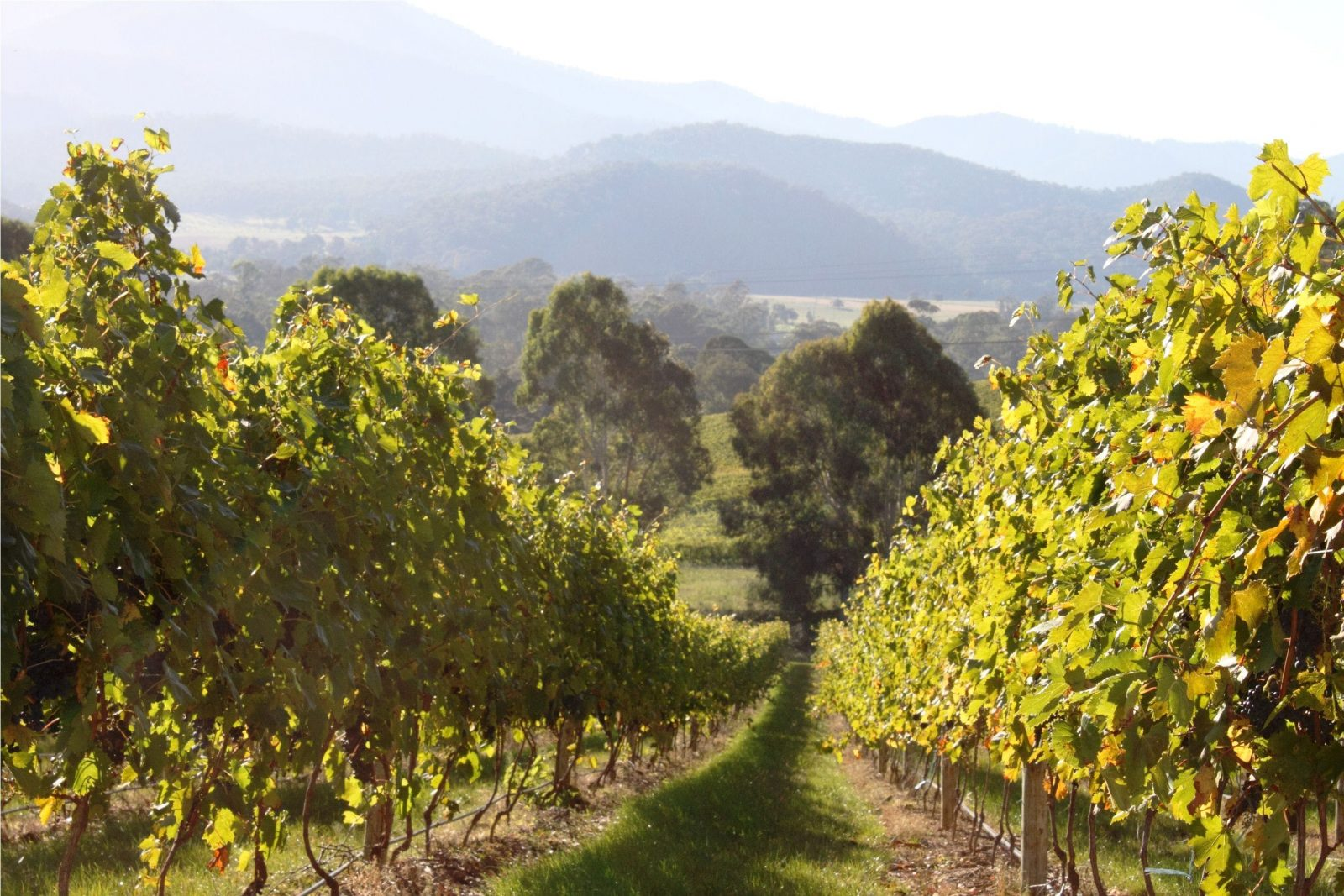 Pizzini Wines vineyards, King Valley