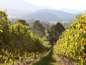 Pizzini Wines vineyards, King Valley