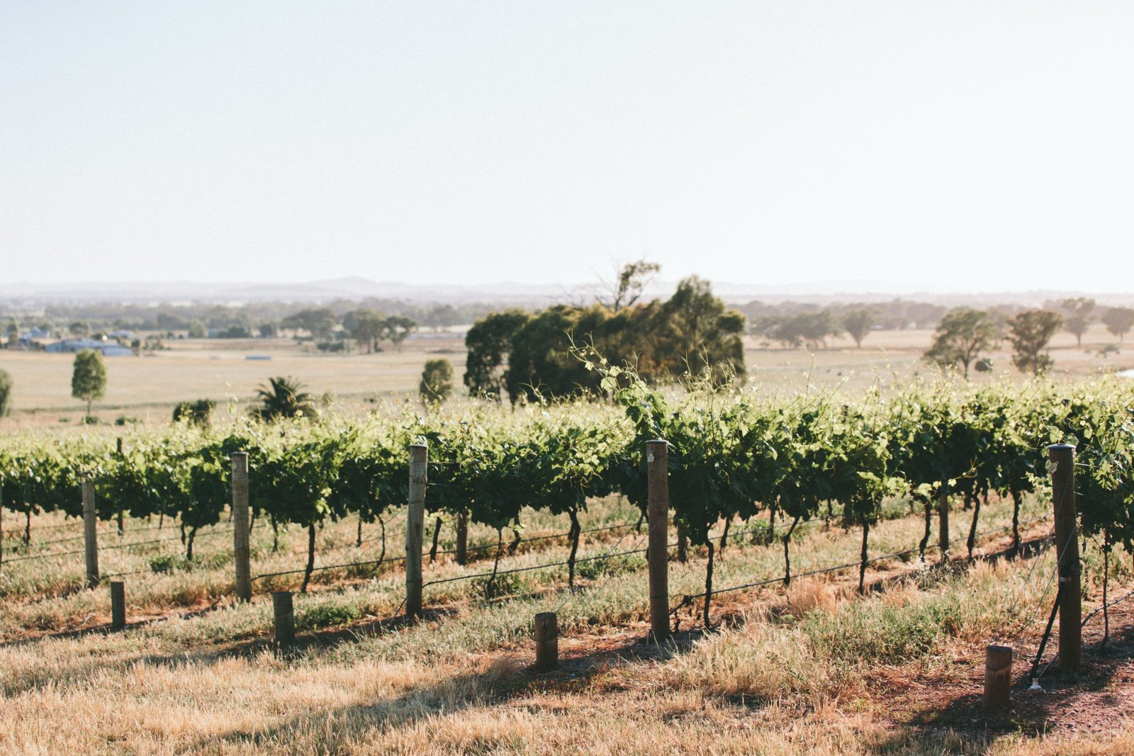 Scion Vineyard Rutherglen