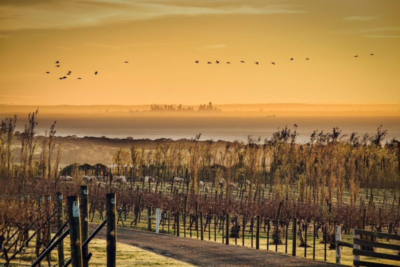 View over the vineyard to Melbourne