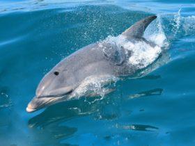 Sea All Dolphin