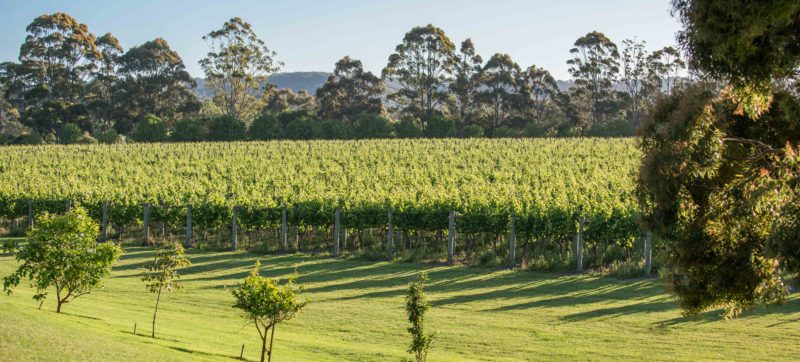 The vines of Crittenden Estate
