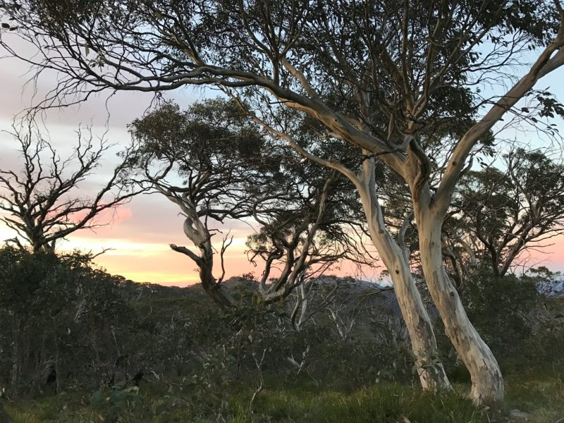 Mt Speculation snow gums at twilight