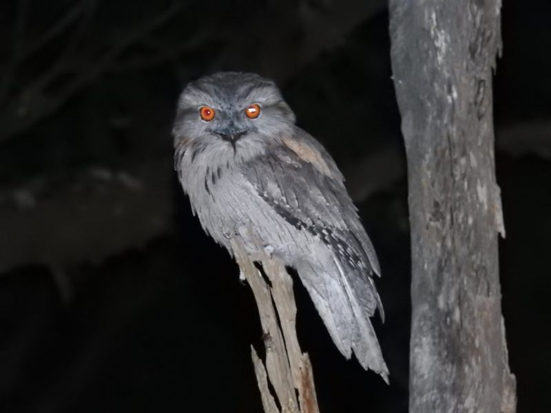 Tawny Frogmouth spotted